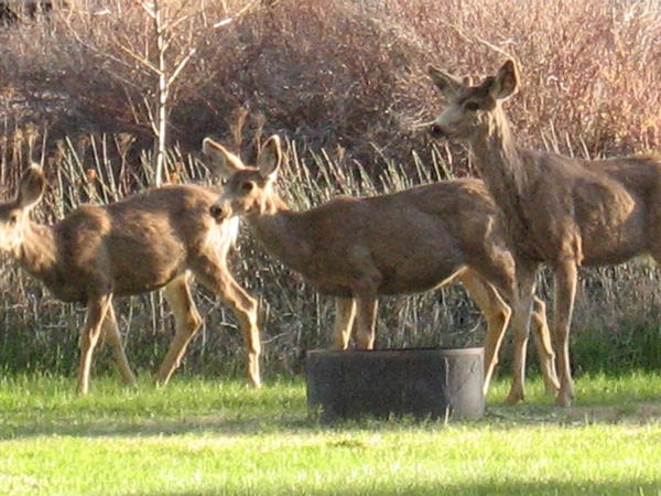 Deer at Bearmouth